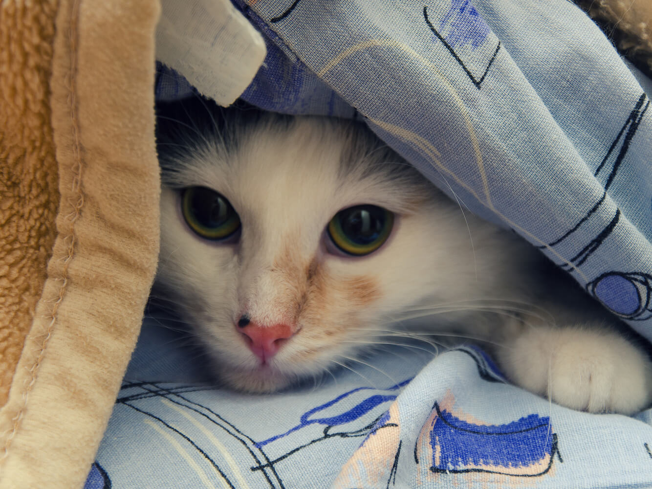 Cat peeking out from a pile of blankets