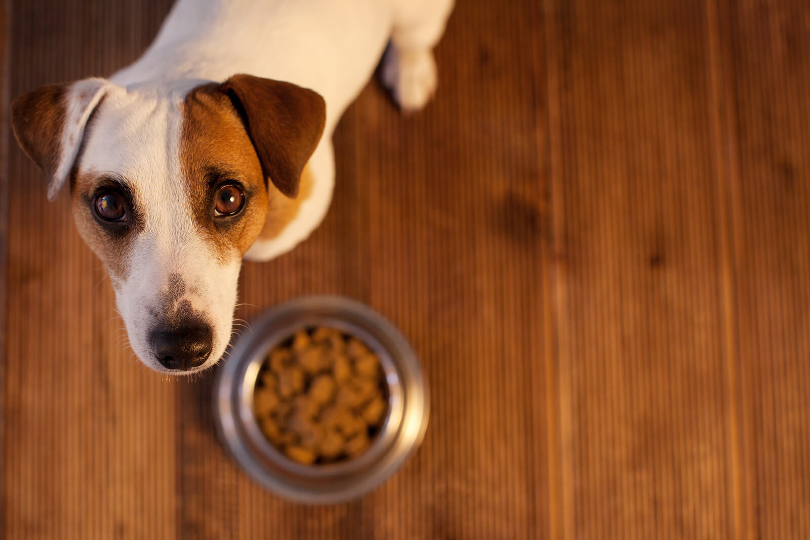 Jack Russell terrier looking up from hardwood floors where dog food bowl is.