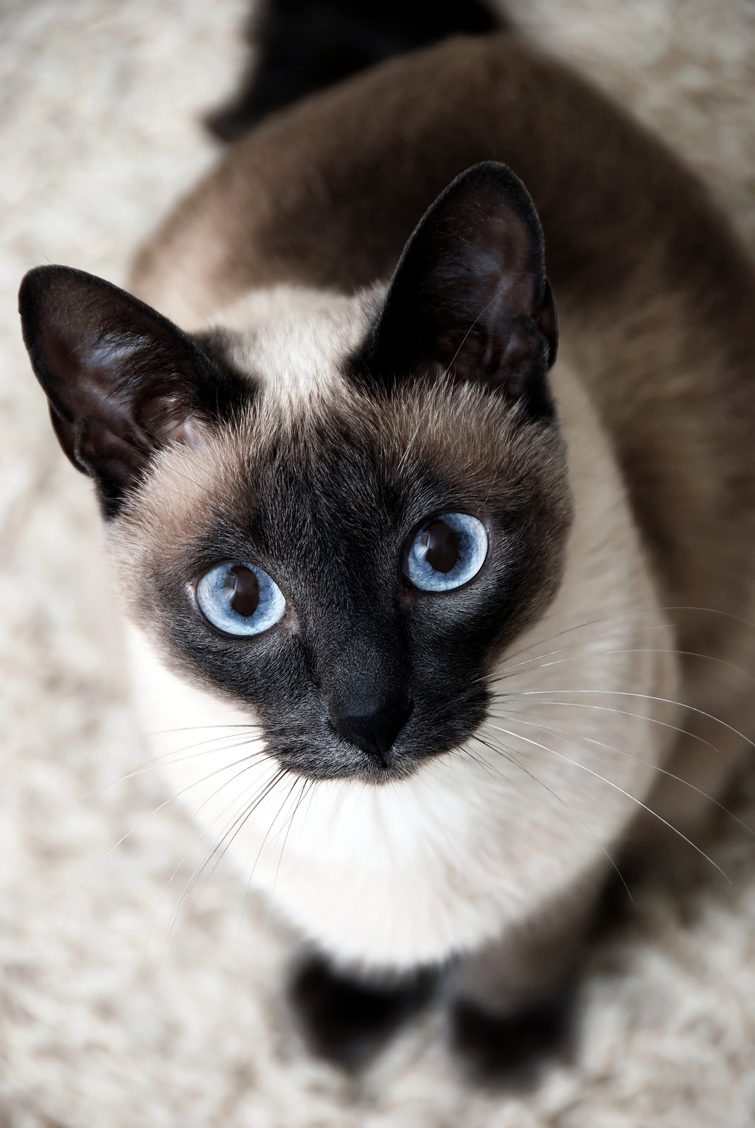 Siamese cat with big, bright blue eyes sits staring up.