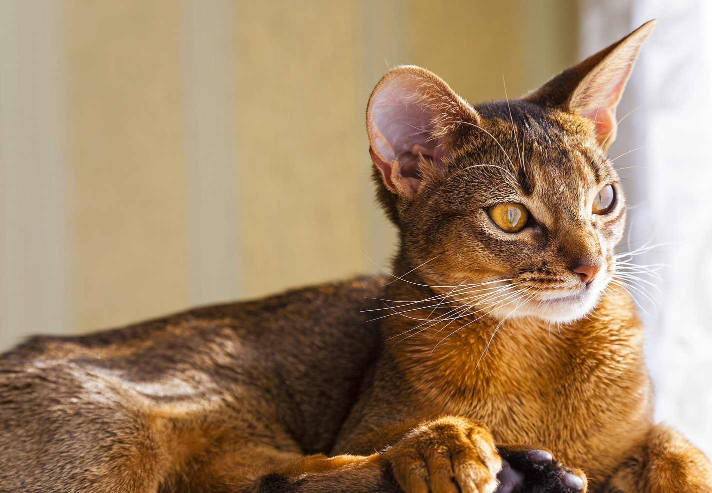 Abyssinian cat staring out the window.