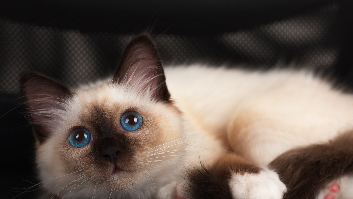 A seal point Birman cat 4 month old kitten male with blue eyes lying on office chair.