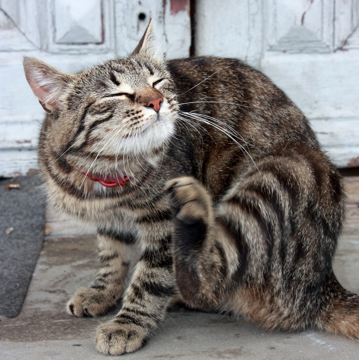 Striped cat in red collar scratches ear.