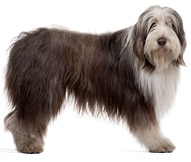 Long Bearded Collie Dog Breed Information