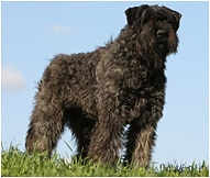 Bouvier Des Flandres Dog Breed Facts And Traits Hills Pet