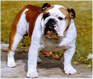 The English Bulldog Dog Breed