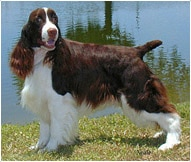 English Springer Spaniel Dog Breed - Facts and Traits
