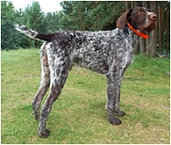 German Wirehaired Pointer Dog Breed Facts | Hill's Pet