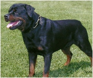 Rottweiler Dog Breed Facts And Personality Traits Hills Pet