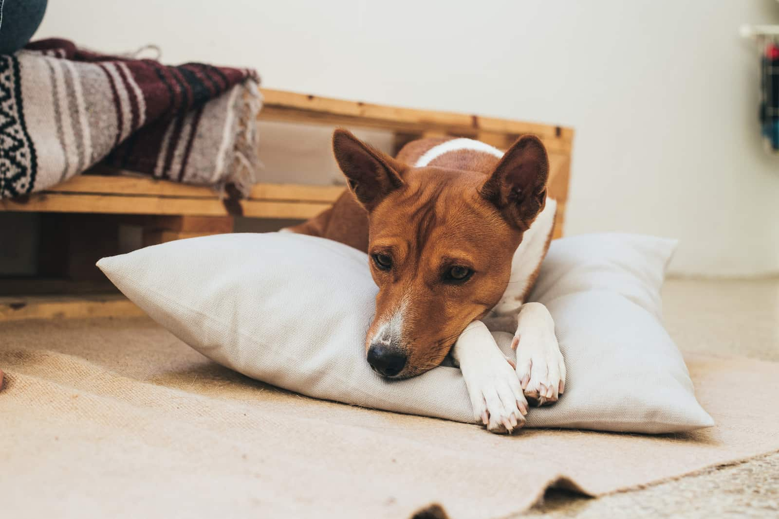 Brown basenji breed dog rests on designer pillow inside apartment.