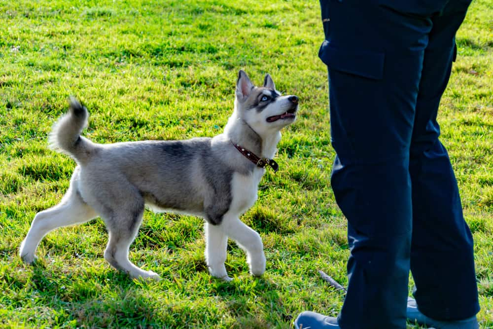 Puppy husky looks up at owner while circling in the grass.