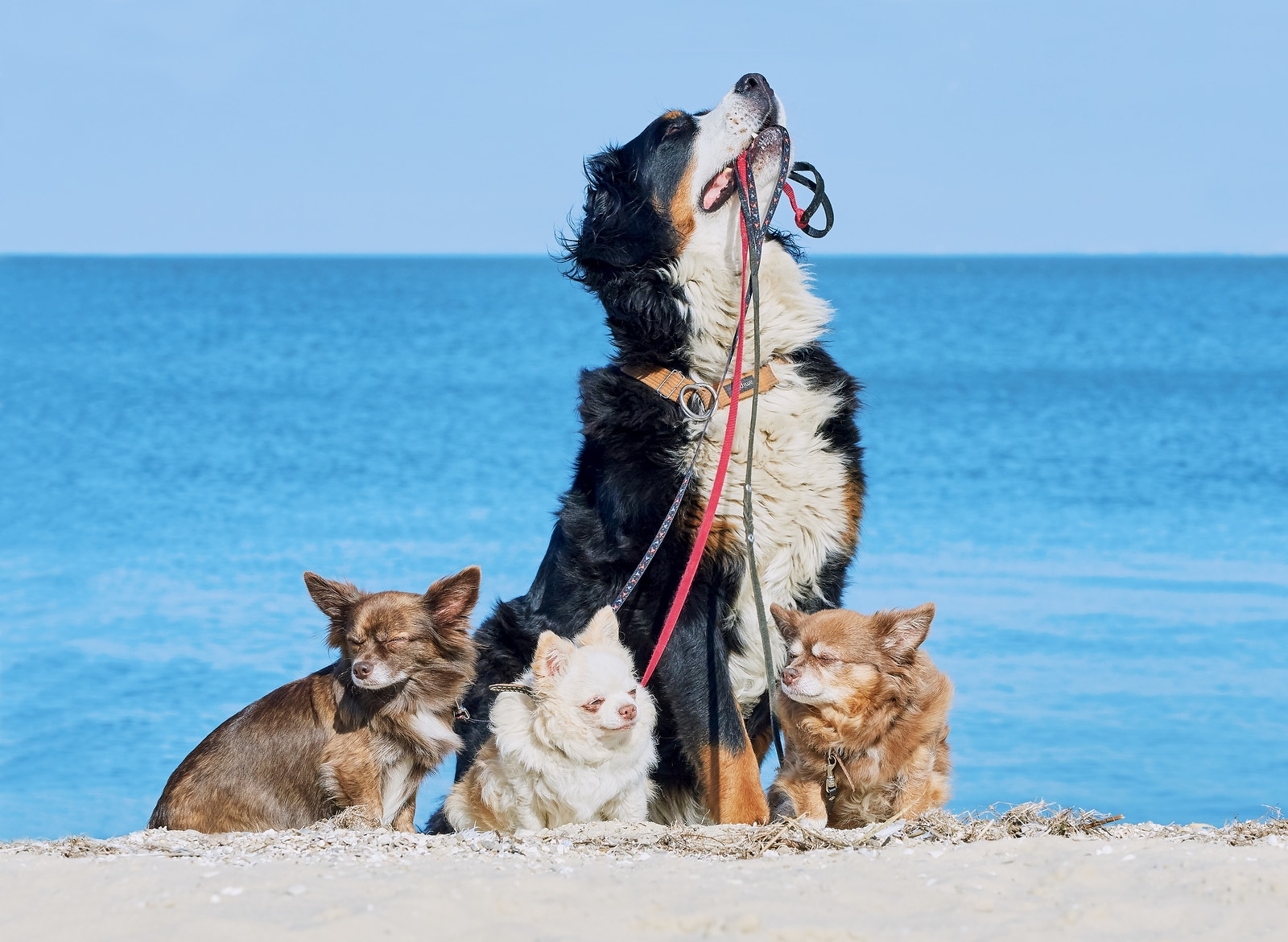 Bernese Mountain dog with the leashes of three Chihuahuas in his mouth on the seashore