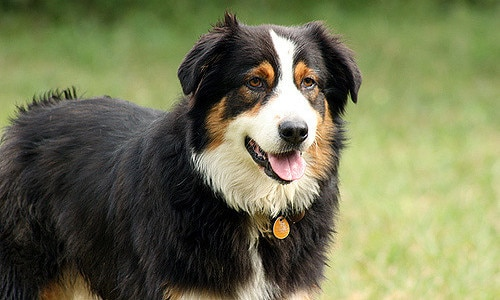 Black Australian Shepherd dog standing in grass