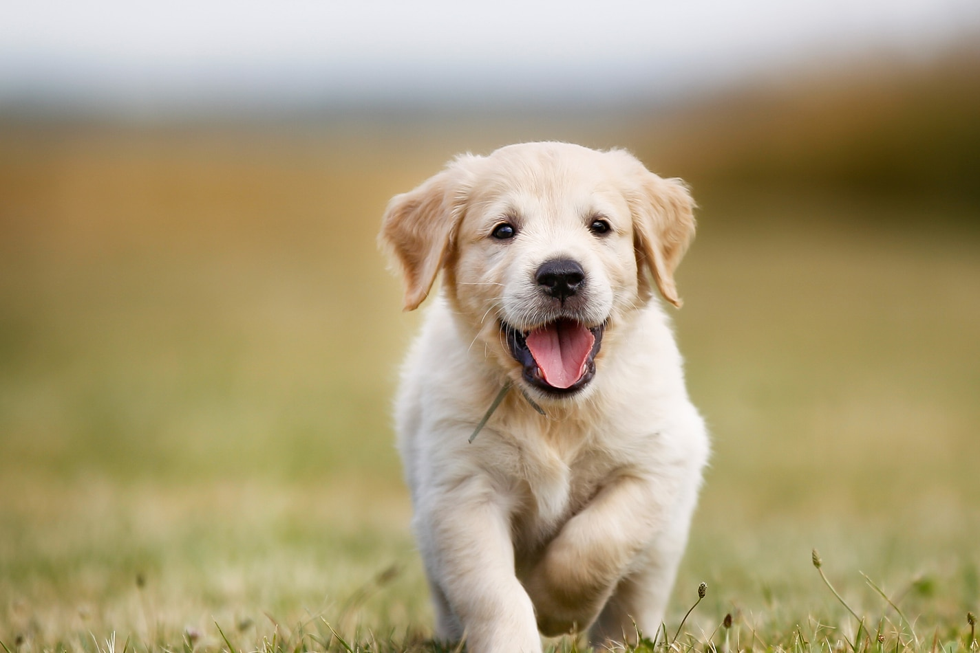 Golden retriever puppy with smile on face runs outside.