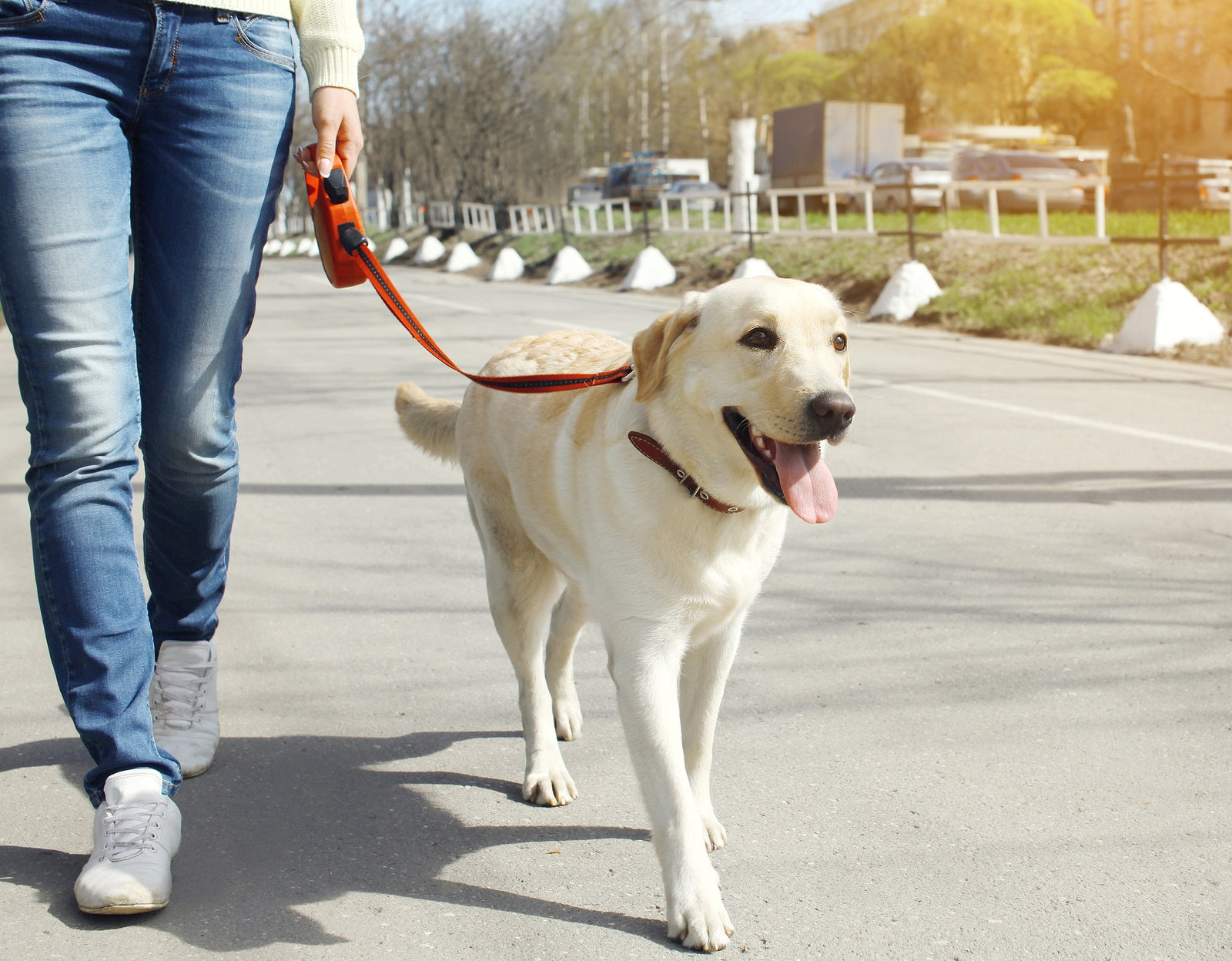 Owner and yellow labrador retriever dog walking in the city.