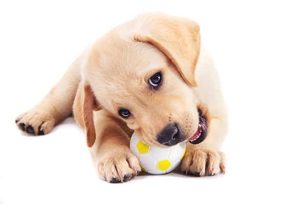 Yellow puppy lab chewing on a small toy soccer ball