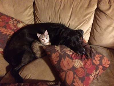 Black lab and small kitten snuggle on a brown couch with fall-leaf print pillows.