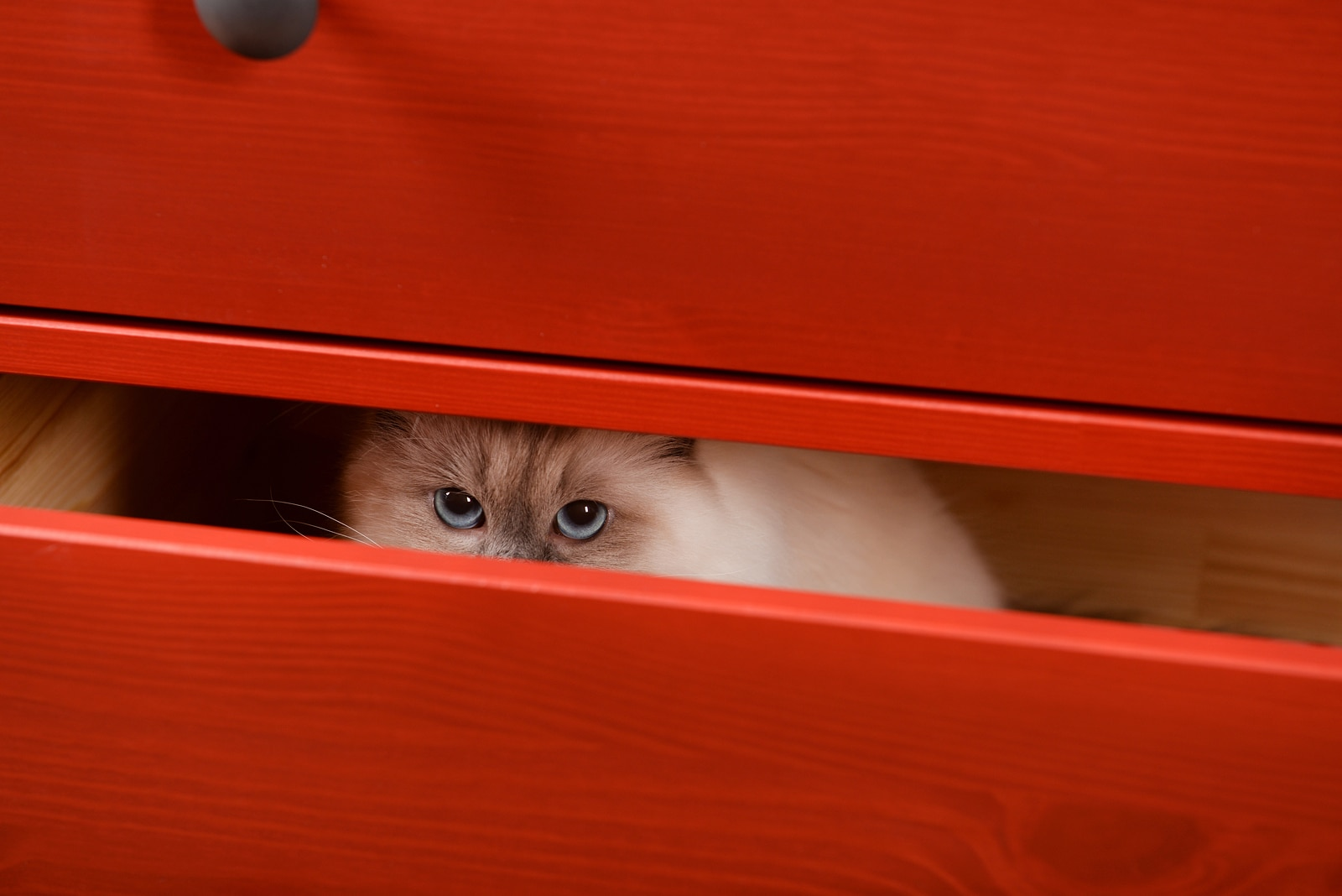 Cat with bright blue eyes hides in red wood drawers.