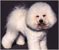 Bichon Frise Dog Breed - Facts and Personality Traits